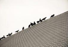 Очередь голубя или голубя группы/стада Стоковое Фото