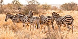 Очередь зебры Стоковые Изображения RF