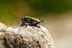 Очищают жука и heated утес Стоковые Изображения