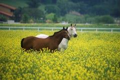 2 лошади в мустарде field, весеннее время, Ojai, CA Стоковые Изображения