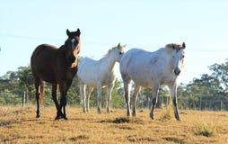 3 лошади в поле зеленой травы Стоковая Фотография