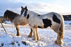 лошади в снежке Стоковые Изображения