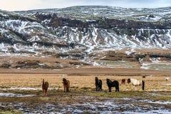 лошади группы icelandic Стоковое Изображение RF