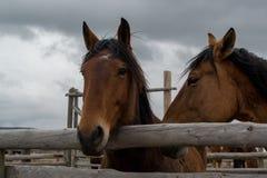 лошади залива 2 Стоковые Изображения RF