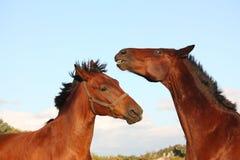 2 лошади играя друг с другом Стоковое Фото