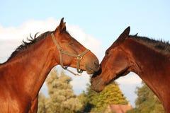 2 лошади играя друг с другом Стоковая Фотография