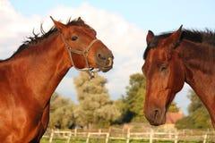 2 лошади играя друг с другом Стоковые Фотографии RF
