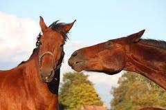 2 лошади играя друг с другом Стоковые Изображения RF