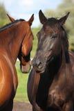2 лошади играя друг с другом Стоковое фото RF