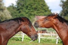 2 лошади играя друг с другом Стоковые Фото