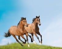 лошади молодые стоковые фотографии rf