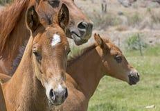 2 лошади младенца Брайна с матерью Стоковые Изображения