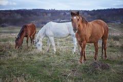 3 лошади на выгоне Стоковые Изображения