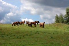 лошади осленка семьи меньший лужок Стоковое Изображение