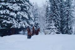 3 лошади приходят из замороженного леса стоковая фотография rf
