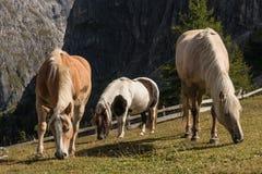 2 лошади при пони пася Стоковые Фото