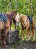2 лошади сводить Стоковые Изображения