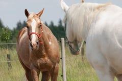 2 лошади смотря один другого Стоковые Фотографии RF