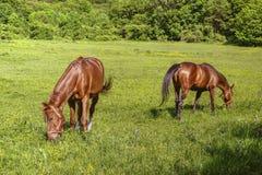 2 лошади с выгоном уздечек стоковая фотография