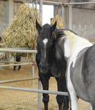 лошади любят 2 Стоковое Изображение