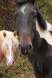 лошади 2 Стоковое фото RF