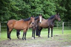 3 лошади Warmblood на выгоне Стоковое фото RF
