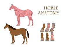 лошадь, мышцы поперечного сечения и копыто иллюстрация штока