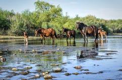 лошадь одичалая Стоковое Изображение RF