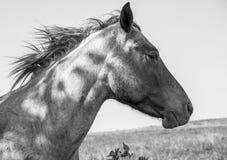 лошадь одичалая Стоковые Изображения RF