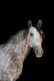 лошадь предпосылки черная Стоковые Изображения