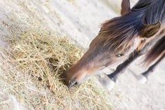 лошадь сена еды коричневого цвета близкая вверх Стоковое Изображение RF