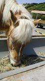 лошадь сена еды коричневого цвета близкая вверх Стоковое фото RF