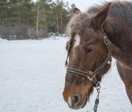 лошадь старая Стоковая Фотография