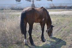 лошадь старая Стоковое Изображение