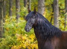 лошадь с длинной гривой стоит на предпосылке желтого леса осени Стоковая Фотография RF
