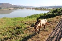 лошадь ‹¹ à на KhongJeam Стоковое Фото