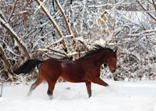 лошадь gallop каштана бежит зима стоковые изображения rf