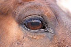 лошадь s глаза Стоковая Фотография RF