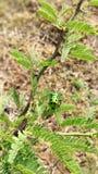 Ошибка драгоценности - pedicellata Scutiphora стоковые изображения rf