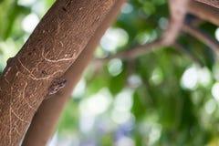 Ошибка цикады, насекомое цикады на древесине на дереве с зеленой предпосылкой стоковое фото
