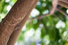Ошибка цикады, насекомое цикады на древесине на дереве с зеленой предпосылкой стоковая фотография rf