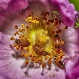 Ошибка Dermestidae на цветке Макрос снятый разнообразного жука ковра изображение наушников черноты близкое изолировало пусковую п стоковое изображение