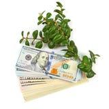 100 долларовых банкнот и ветвь зеленых кустов на белом bac Стоковое Изображение