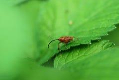 долгоносик дня конца жука воздуха открытый поднимающий вверх Стоковая Фотография RF