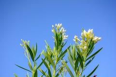 Олеандр Nerium в голубом небе Стоковое Изображение RF
