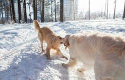 Одежды для собак 2 собаки золотых retriever играя outdoors в зиме Стоковое Изображение