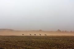 Ход оленей козуль Стоковые Изображения