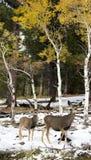 Олени лани в Aspen Стоковое Изображение