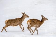 Олени бежать на снеге во времени рождества стоковые изображения rf