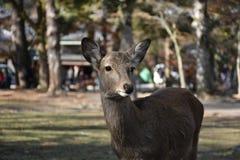 Олени без рожка в Nara, Японии Стоковое Изображение